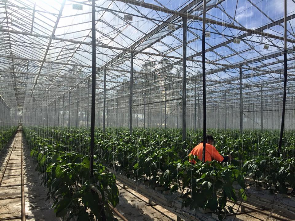 Glasshouse Tomatoes Flavorite